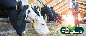 جیره گاو به اندازه سلامت گاو مهم نیست
