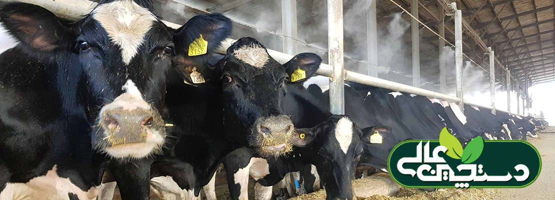 تنظیم پروتئین جیره گاوهای شیری