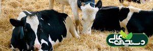 تغذیه گاوهای شیری و اهمیت کلسیم