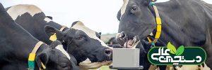 تغذیه گاوهای دوره انتقال و نقش کلسیم و منیزیم