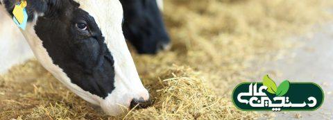 اسیدآمینه متیونین محافظت شده در شکمبه (RPM) دارای اثرات مثبت بر ساخت پروتئین شیر گاوها
