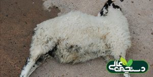 بیماری سنگ ادراری گوسفند