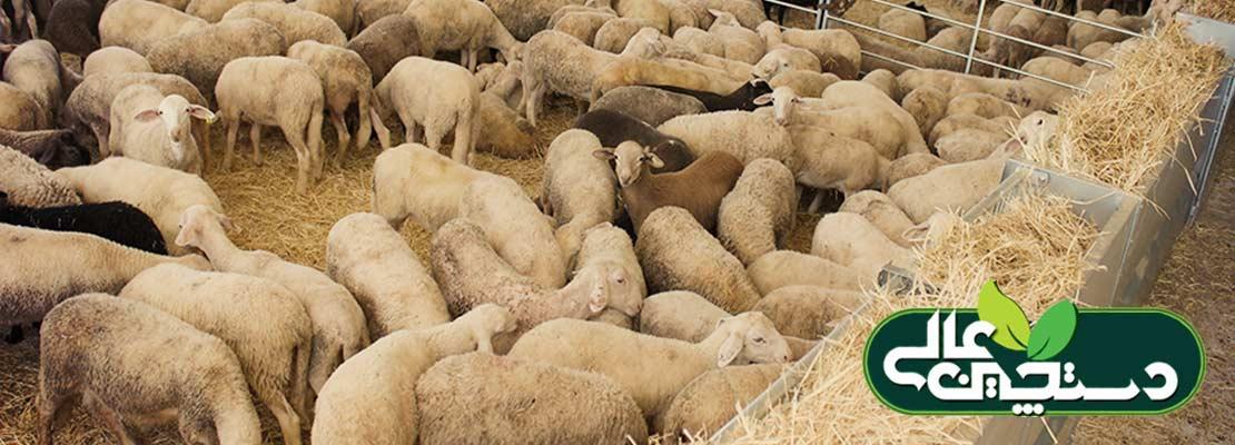 پرورش دام سبک و تغذیه گوسفند و بز بر اساس جیره غذایی بر پایه کنسانتره و علوفه