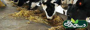 شیردهی بالا در گاو ها تحت تأثیر نبود تنش در گاوداری است