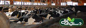 رفتار نشخوار گاو می تواند به پیش بینی بروز بیماری کمک کند