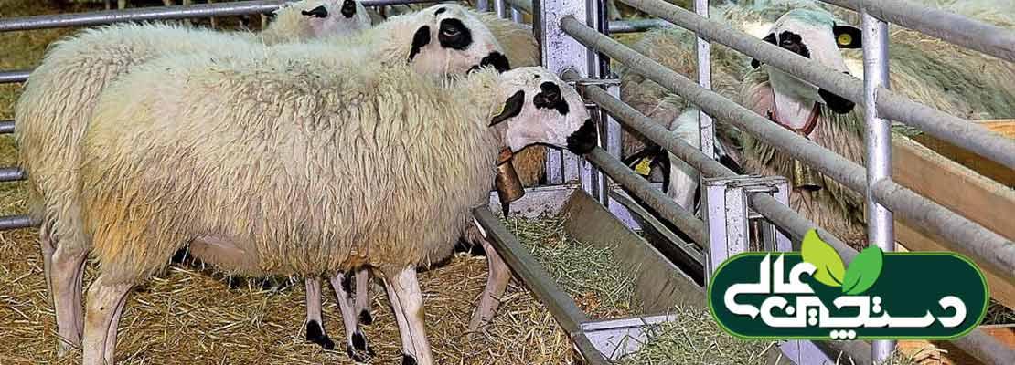 پرورش و فروش گوسفند های گله مادر