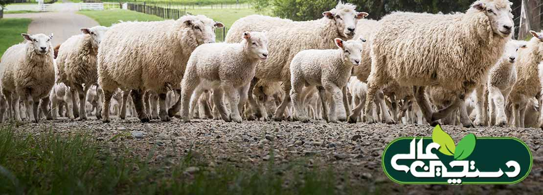 رفتارشناسی گوسفند برای پرورش و مدیریت بهتر گله