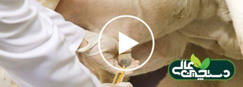 فیلم آموزشی تشخیص درمان ورم پستان در گاو شیری