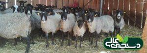 در پرورش گوسفند رومانف میش رومانف می تواند در هر فصلی از سال بره زایی داشته باشد