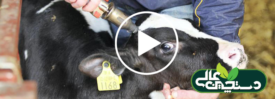 فیلم آموزشی شاخ سوزی گوساله برای کمک به مدیریت گاوداری