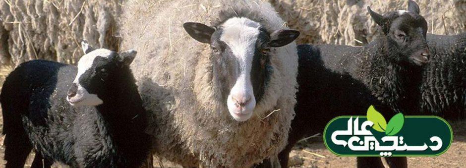 پرورش گوسفند نژاد رومانف در یک نگاه