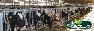 تنظیم جیره گاو ها برای بهینه کردن مصرف ماده خشک