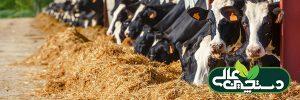 خوراک خوردن گاو را مشاهده و ارزیابی کنید