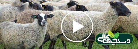 گوسفند نژاد رومانف در یک نگاه کوتاه