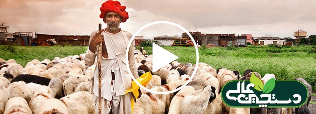 پرورش گوسفند در یک کشور جهان سومی پرجمعیت