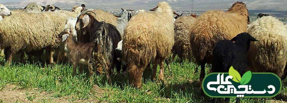 انگل های خارجی گله گوسفند