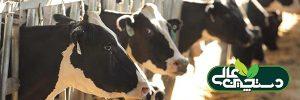 مدیریت گاو دوره انتقال با 10 اقدام کاربردی