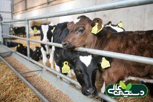تغذیه گوساله بوسیله استارتر گوساله مجتمع صنایع تبدیلی دستچین و اثر عالی آن بر از شیرگیری گوساله ها