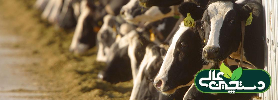 توازن مواد معدنی جیره گاو شیری