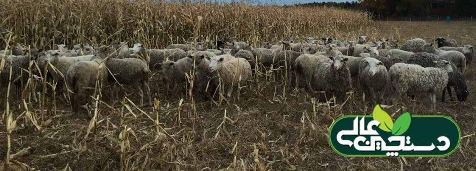 بیماری تب برفکی در گوسفند