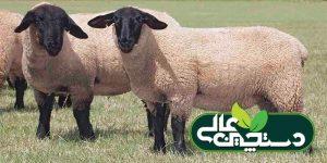پرورش گوسفند نژاد سافولک