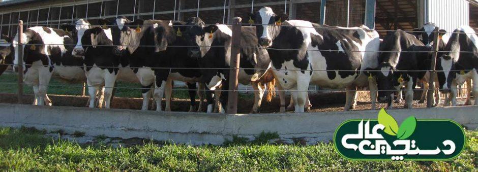تولید شیر با کیفیت در گاوداری در گرو یکی از این 4 گزینه است