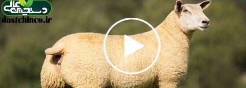 معرفی گوسفند نژاد شاروله
