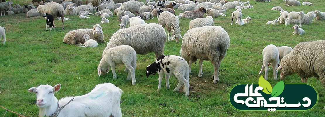 بیماری آنتروتوکسمی در پرورش گوسفند