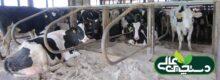 پرورش گاو شیری و شناخت نیازهای گاو شیری