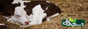 اسهال گوساله شیری معمول ترین علت مرگ آن است