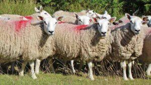 شناسایی گوسفند ، علامت گذاری گوسفند ، ثبت مشخصات گوسفند