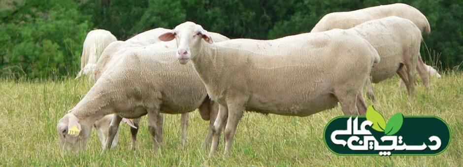 پرورش گوسفند نژاد لاکن