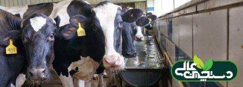 تولید شیر گاو علاوه بر تغذیه خوب نیاز به آب کافی دارد