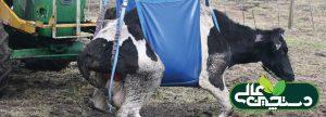 بیماری تب شیر در گاوهای شکم دوم به بالا رایج تر است