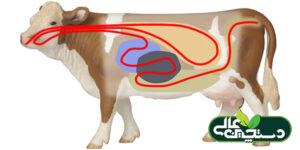 نقش جمعیت میکروبی شکمبه گاو شیری در تولید شیر