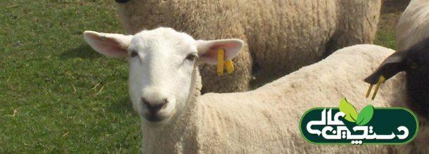 شناسایی گوسفند،  علامت گذاری گوسفند،  ثبت مشخصات گوسفند