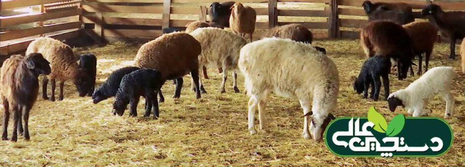 پیشگیری از اسهال گوسفند
