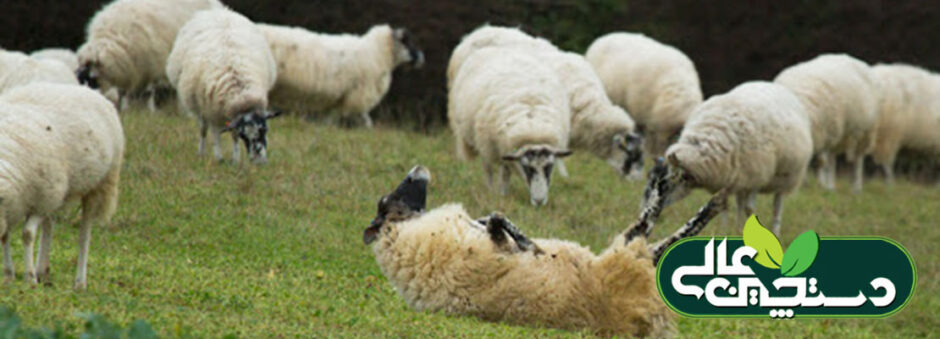 نفخ در گوسفند