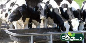 پرورش گوساله و تلیسه