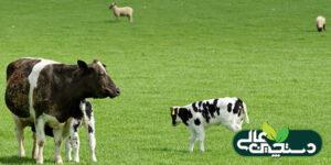 نقش کبالت در پرورش گوسفند و گاو