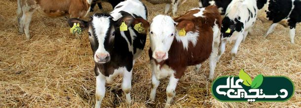پرورش گوساله (رفتارشناسی، مدیریت تراکم، آغوز، مصرف آب)