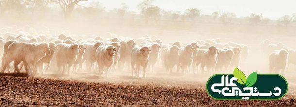بیماری شاربن در گوسفند و بز