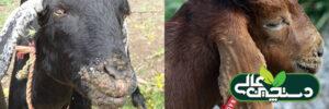 بیماری آفت دهان گوسفند و بز