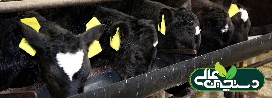 از شیرگرفتن گوساله