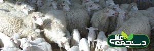 انتخاب میش های جایگزین و خرید میش های جایگزین در پرورش گوسفند