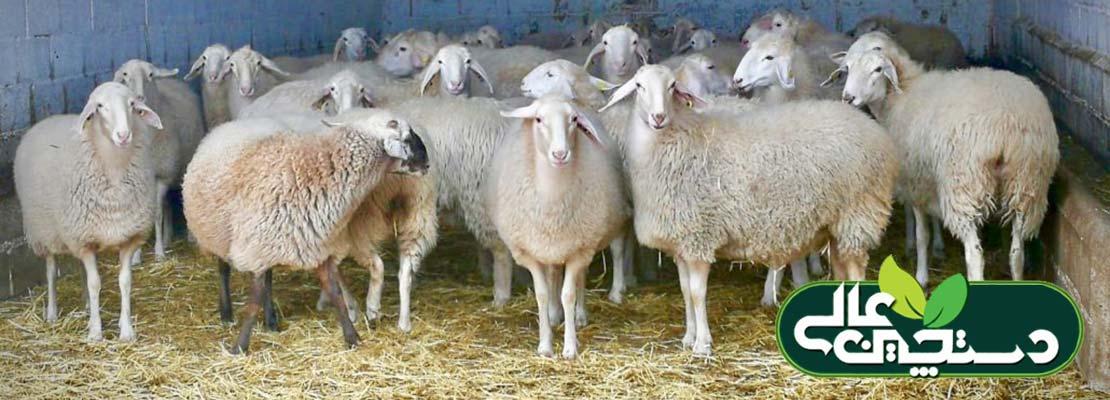 انتخاب میش های جایگزین در گله گوسفند