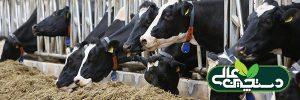 دوره انتقال گاو شیری و تغییرات متابولیسمی