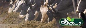 خوراک مرطوب TMR به مقدار بیشتری مورد علاقه گاوهاست