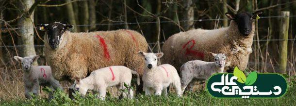 کمبود منیزیم در گوسفند ( بیماری کزاز علفی )