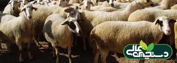 کنجاله کلزا و نقش آن در تغذیه گوسفندان